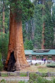 Sequoia  038