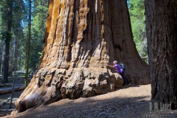 Sequoia  082