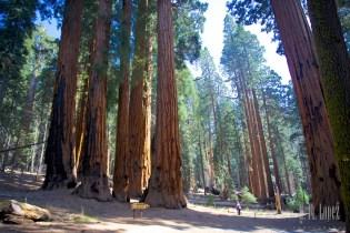 Sequoia  083