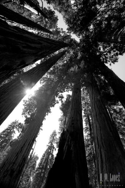 Sequoia  084