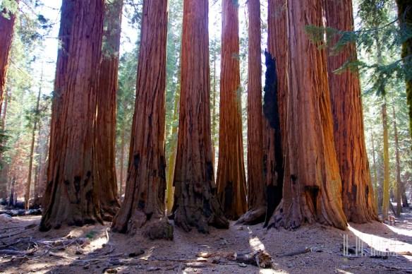 Sequoia  089