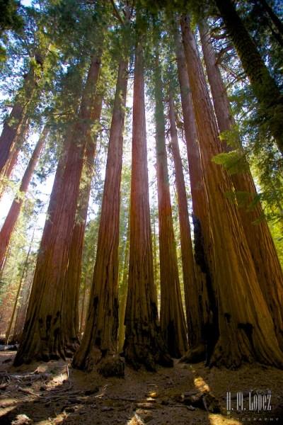 Sequoia  090