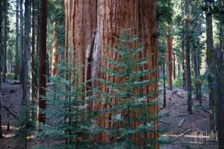 Sequoia  095