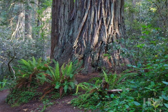 north redwoods  046