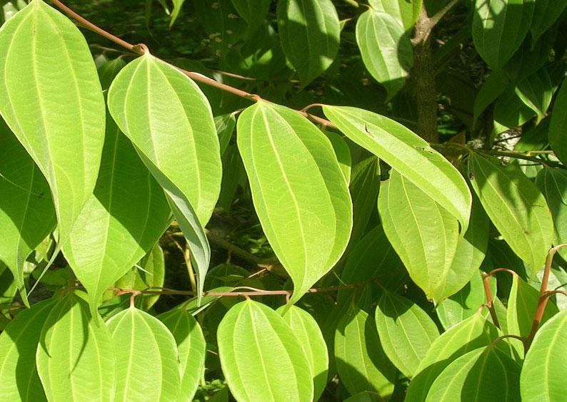 Image result for cinnamon leaves