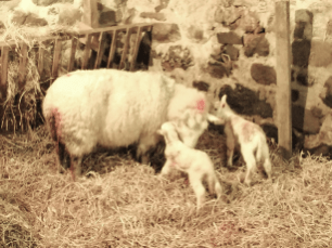 New-born-lambs-everywhere-at-present