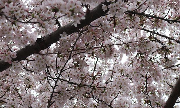 Tree blossom, April 2021
