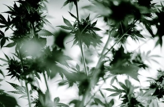 , White Rhino Cannabis Photos (Stoner Picture of The Month)