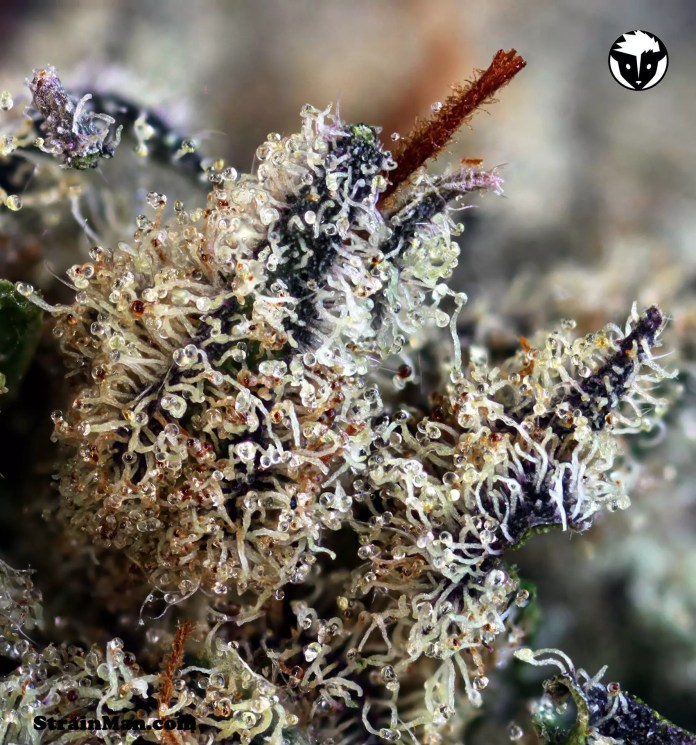 Cannabis Strain Review, 501st OG ( Skywalker OG x Rare Dankness #1) Cannabis Strain Review