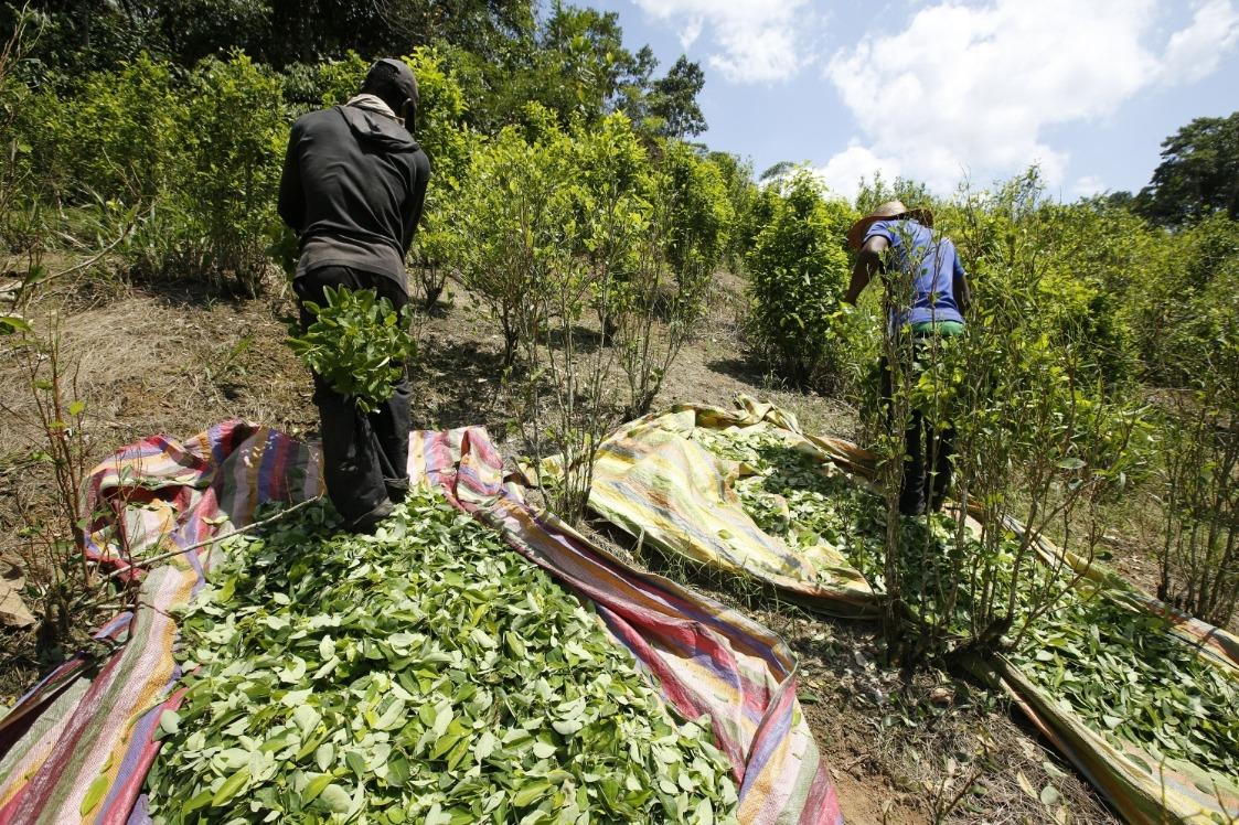 Campesinos cosechando coca en uno de los muchos campos ilícitos de Colombia. Fotografía: AP
