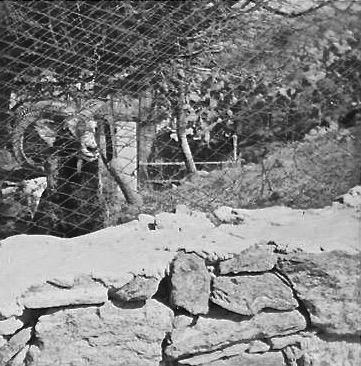 Romeo il muflone nel giardino del Direttore