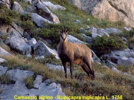Rupicapra_rupicapra_0