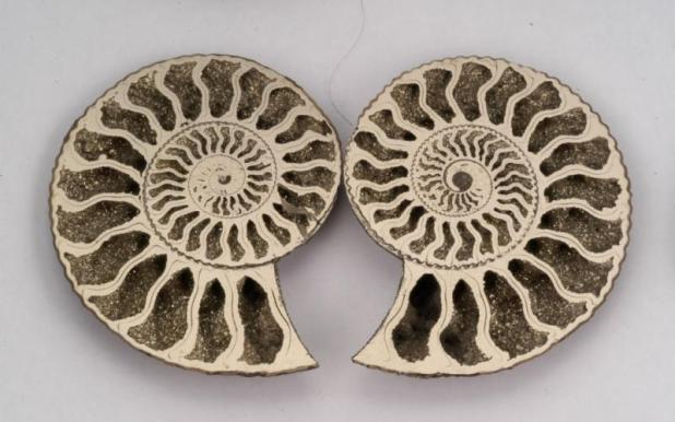 Amonite - http://www.fossilmuseum.net/ammonite-pictures/Quenstedticeras/ammonites95.htm
