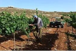 Jewish farmer tends his vineyard