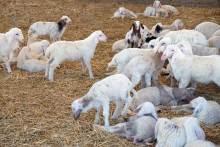 Овцы, бараны и ягнята разделены по полу и возрасту и содержатся в разных загонах