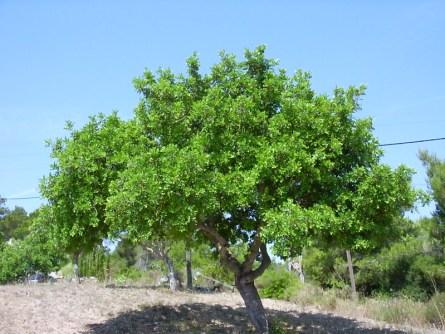 Общий вид взрослого растения. Фото: Wikipedia / Helix84