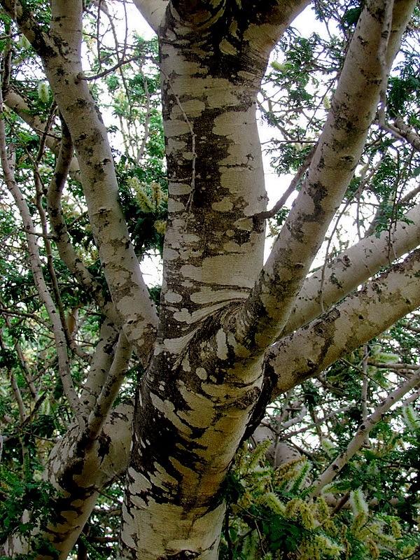 acacia-albida-img_5318 (2)