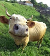 crazy-funny-cow