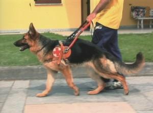 cane guida 300x222 - SE INCONTRI UN CANE GUIDA: LA GUIDA DI BLINDSIGHT PROJECT