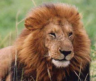 leone lion1 Potenzia il tuo Mac per Lion con Buydifferent e approfitta della spedizione gratuita