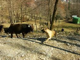cane corso e bovini