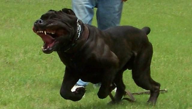cane corso attacco