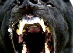 cane corso ringhia