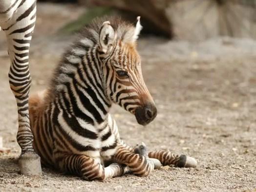 zebra pistoia