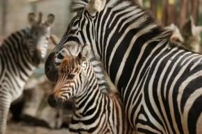 zebra_pistoia3