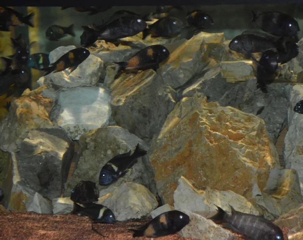 L'acquario di Calci il settore Tanganika (ph. P. Russo)