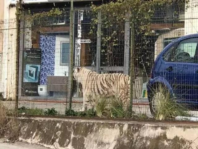 tigre bianca