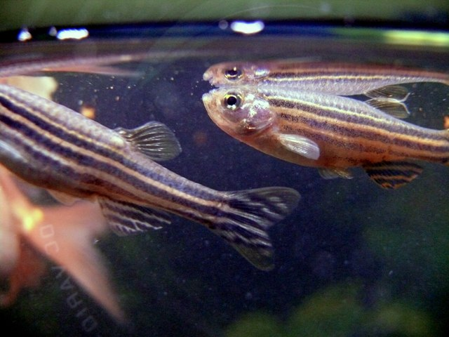 enzimi pesce zebra