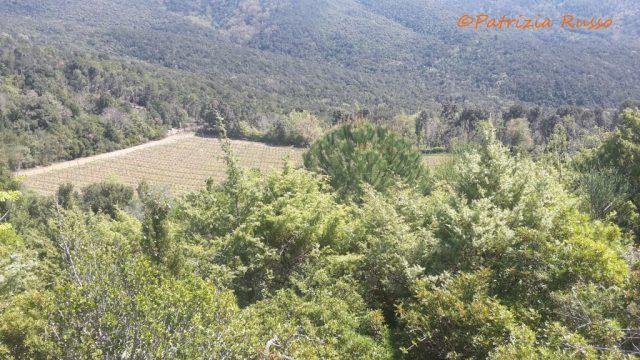 Paesaggio toscano con verdi colline coperte di oliveti e di vigne (ph. In24 / P. Russo).