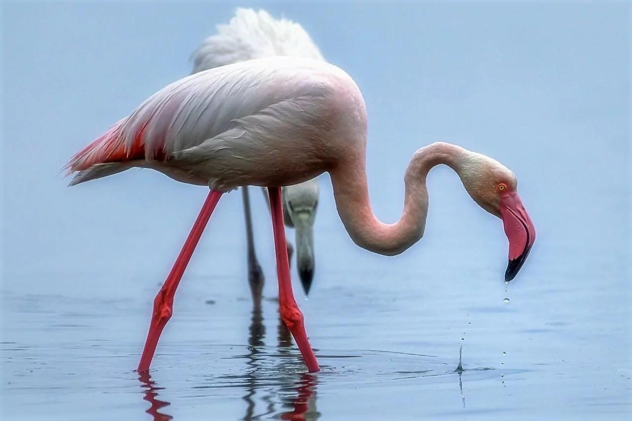 Isola d'Elba: fenicottero rosa (©ArcipelagoNetwork).