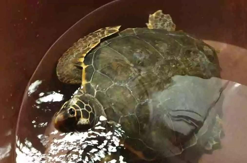 Tartaruga Caretta caretta appena soccorsa (Ph. P.Russo/IN24).