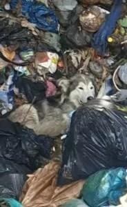 Salvato Toto, il cane finito nel trituratore dei rifiuti della discarica di Livorno