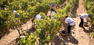 Wijn uit Puglia