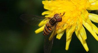 Parassita esotico delle api scoperto in Calabria