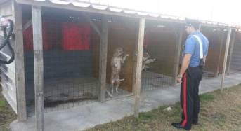 9 pitbull tenuti in box abusivi: Srquestrati dai Carabinieri