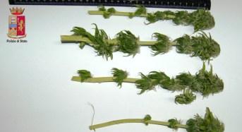 Ventisettenne di Barcellona P.G. sorpreso dalla Polizia a coltivare marijuana: Arrestato