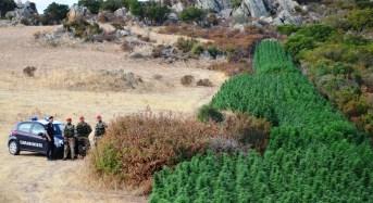 Olbia, Carabinieri scoprono maxi piantagione di cannabis. Due arresti