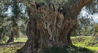 Passeggiate sotto le stelle a Chiaramonte Gulfi alla riscoperta degli ulivi saraceni e del mistero della vuzzulera