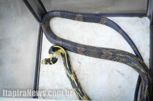 Cobra picou mão de idoso e também foi capturada