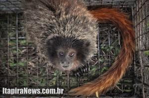 Macaco foi recolhido e será solto