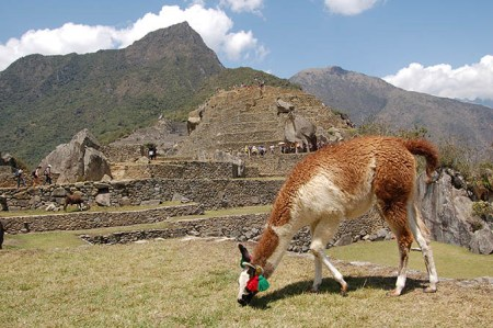 Llama and the ruins of Machu Picchu