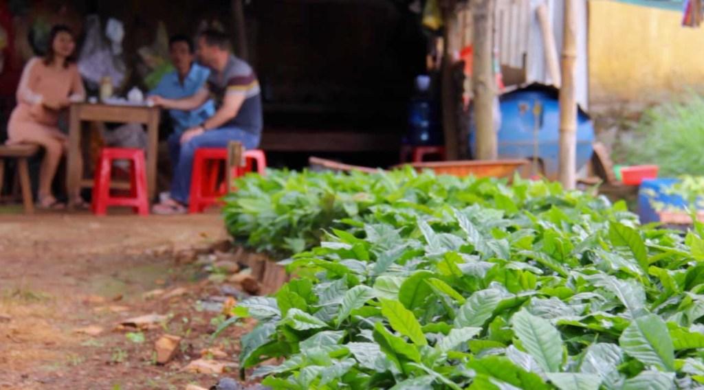 Coffee in Vietnam - Dak Lak coffee nursery