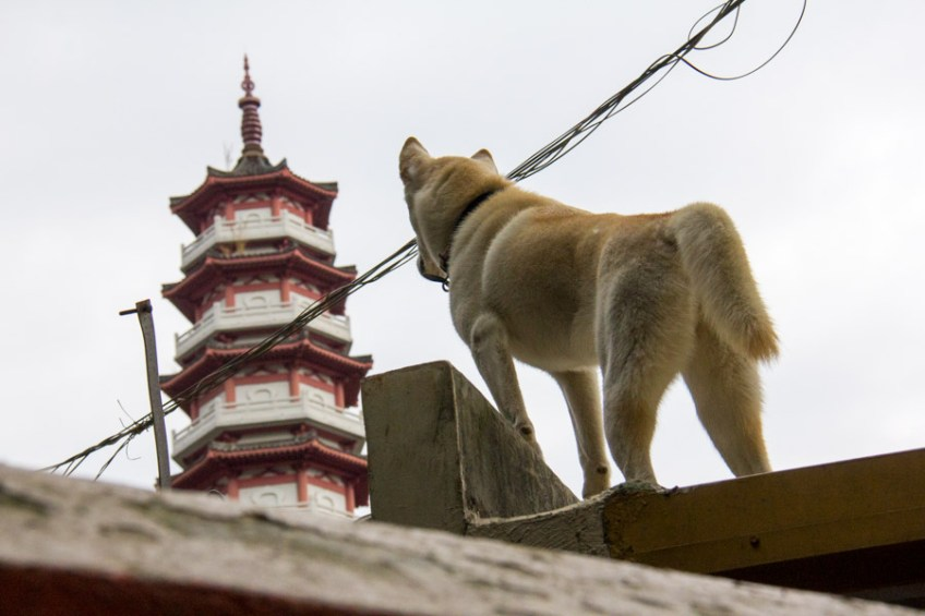 dog on roof of temple