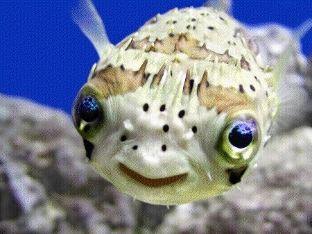 puffer fish dating site