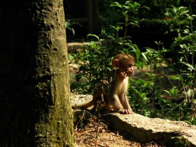 Little Monkey at Monkey Hill (馬騮山) / Kam Shan