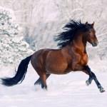 Horse Running Through Snow 138438 Hd Wallpaper Backgrounds Download